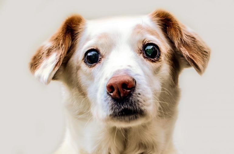 perro-con-conjuntivitis