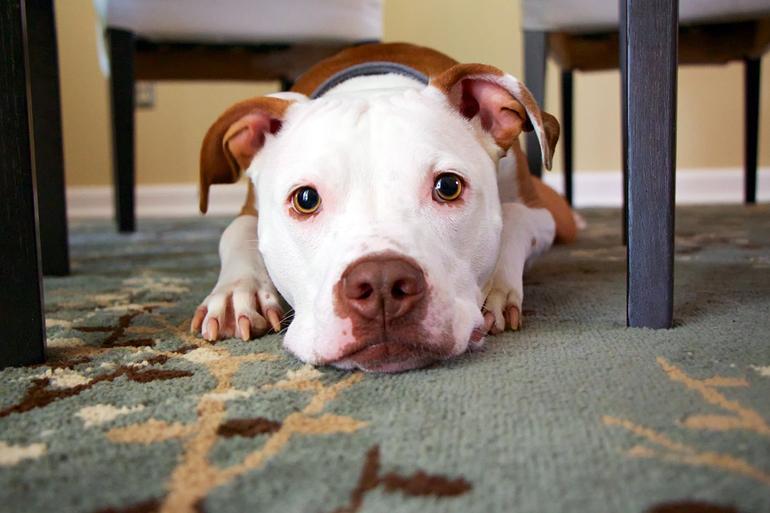 perro-debajo-de-la-mesa