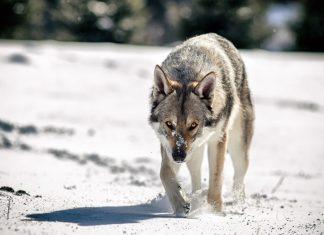 perro-lobo-checoslovaco-en-la-nieve