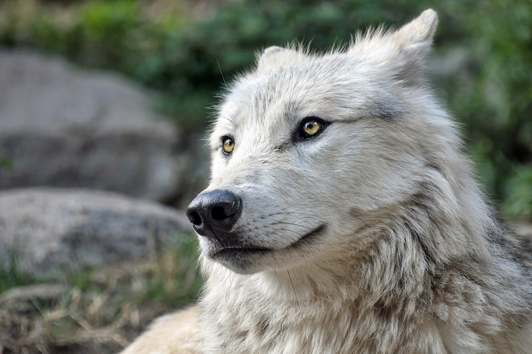 perro-pastor-con-las-orejas-hacia-atrás