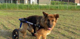 perro-pastor-en-silla-de-ruedas