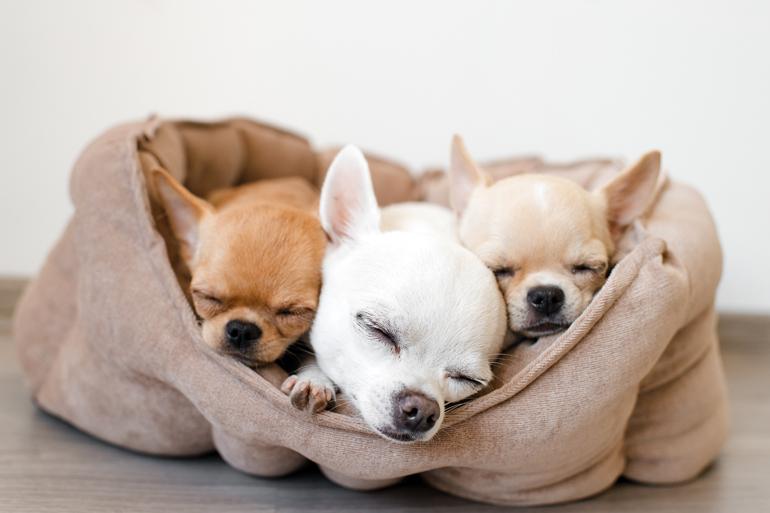 perros-chuhiahias-durmiendo