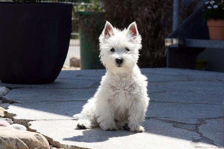 precioso-perro-westy