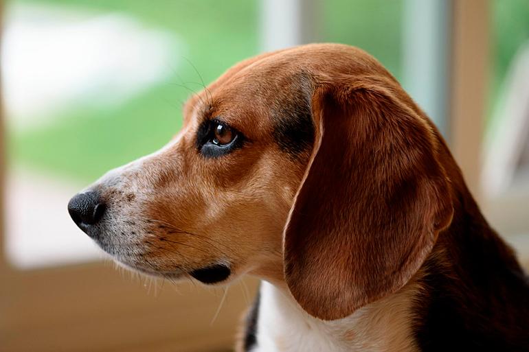 beagle-con-grandes-orejas