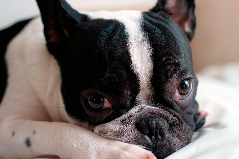 bulldog-con-hepatitis