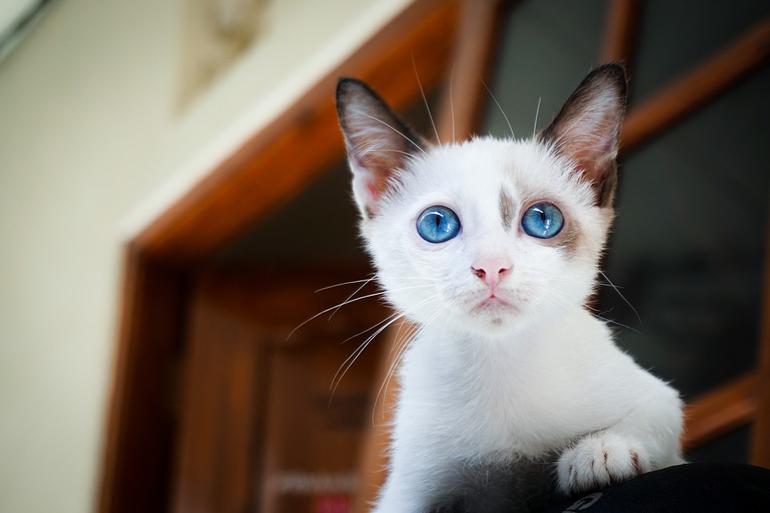 cachorro-de-gato-de-ojos-azules