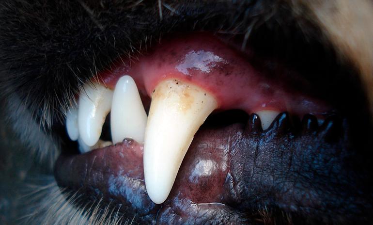 dientes-de-perro