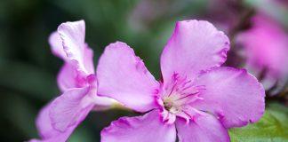 flor venenosa para perros