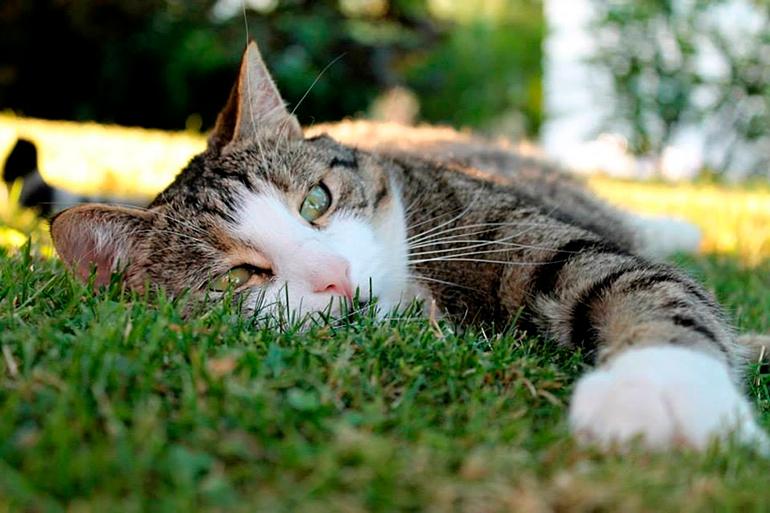 gato-con-dolor-de-tripas