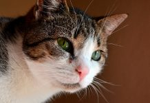 gato-con-inmunodeficiencia