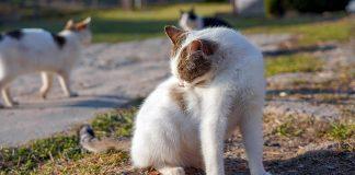 gato-con-tiña-rascandose-el-lomo