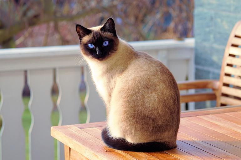 gato-siames-sobre-una-mesa