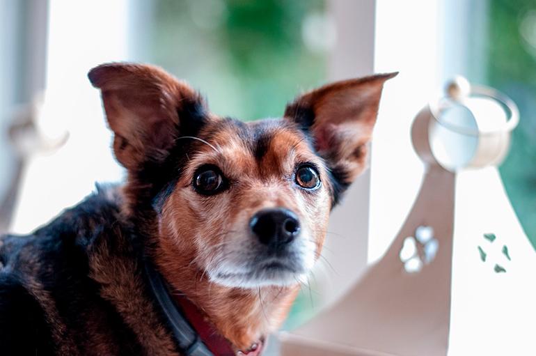perro-anciano-con-cáncer