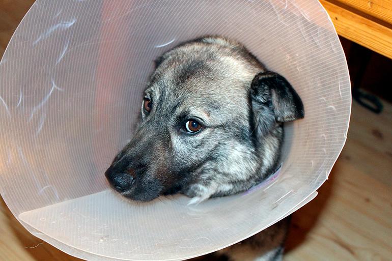 perro-con-campana-isabelina