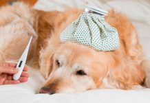 perro-con-mucha-fiebre