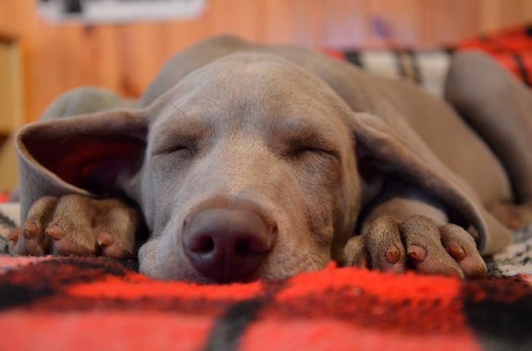 perro-enfermo-descansando