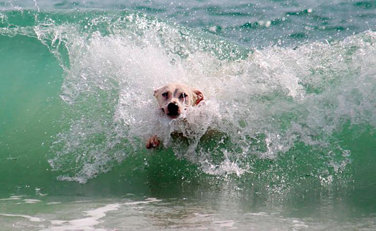 perro-nadando-en-la-playa
