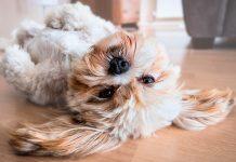 perro-tras-un-ataque-epileptico