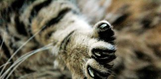 uñas-de-gato
