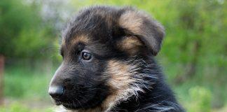 cachorrito-de-pastor-alemán2
