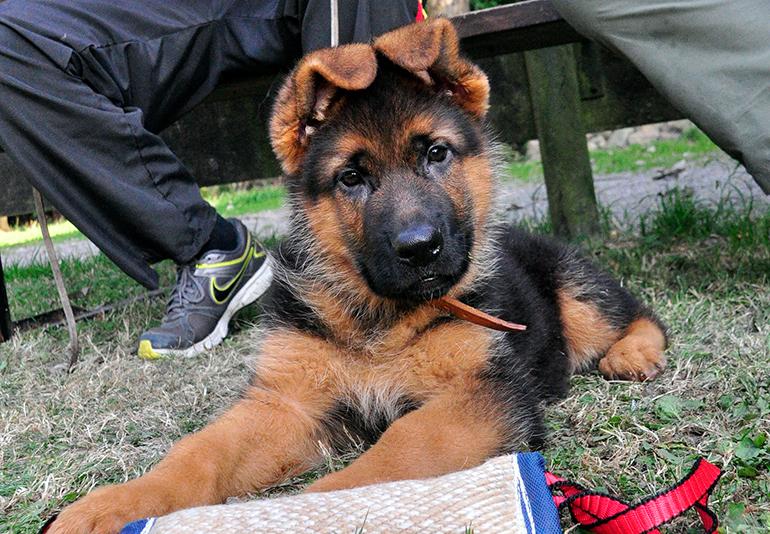 cachorro-de-pastor-alemán-en-el-parque-canino