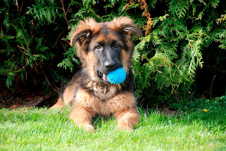 pastor-alemán-cachorro-con-una-pelota