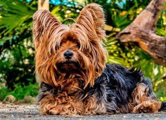 yorkshire-terrier-tumbado