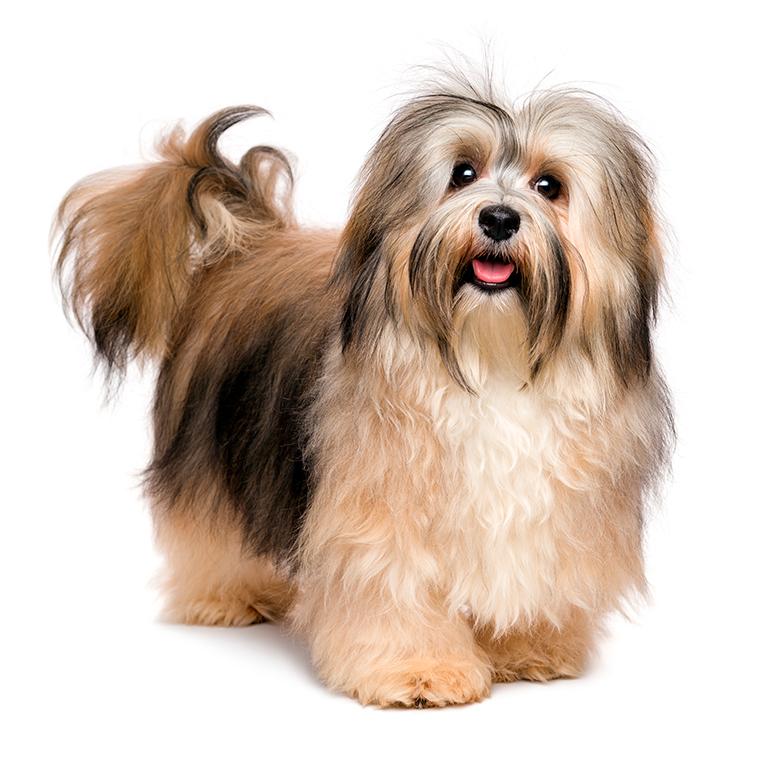 perro-bichón-habanero-de-cuerpo-entero
