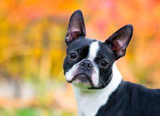 perro-de-raza-boston-terrier