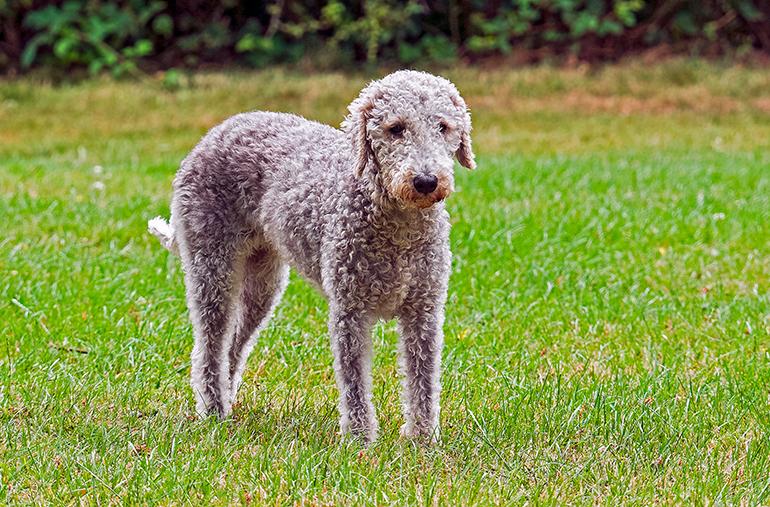 Bedlington-terrier-en-el-jardín2