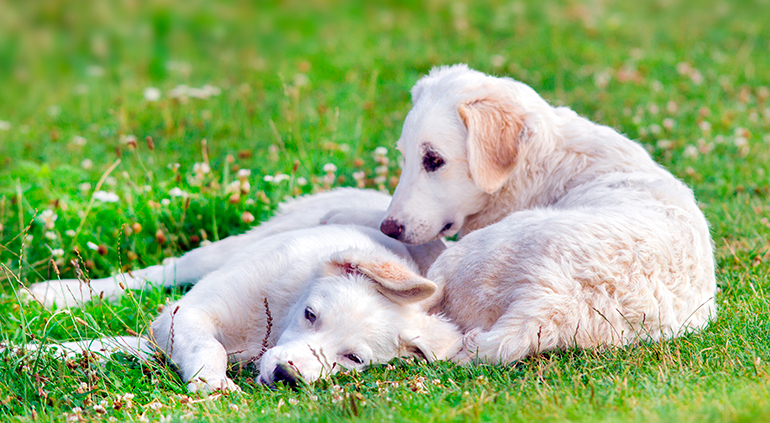 Cachorros-de-raza-kuvasz