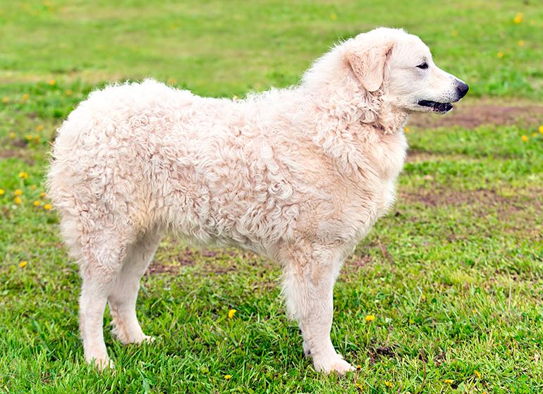 Perro-adulto-de-raza-kuvasz