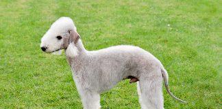 aspecto-físico-del-Bedlington-terrier