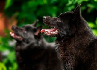 pareja-de-perros-Schipperke