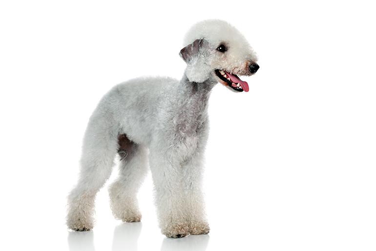 perro-de-raza-Bedlington-terrier