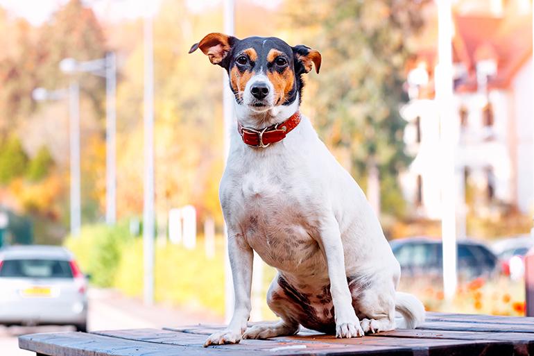 perro-de-raza-bodeguero-andaluz