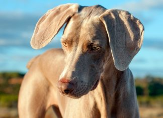 perro-de-raza-braco-de-weimar