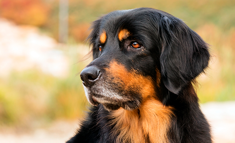 perro-de-raza-hovawart