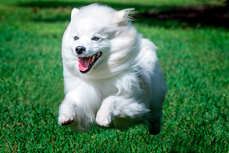 perro-esquimal-americano-corriendo