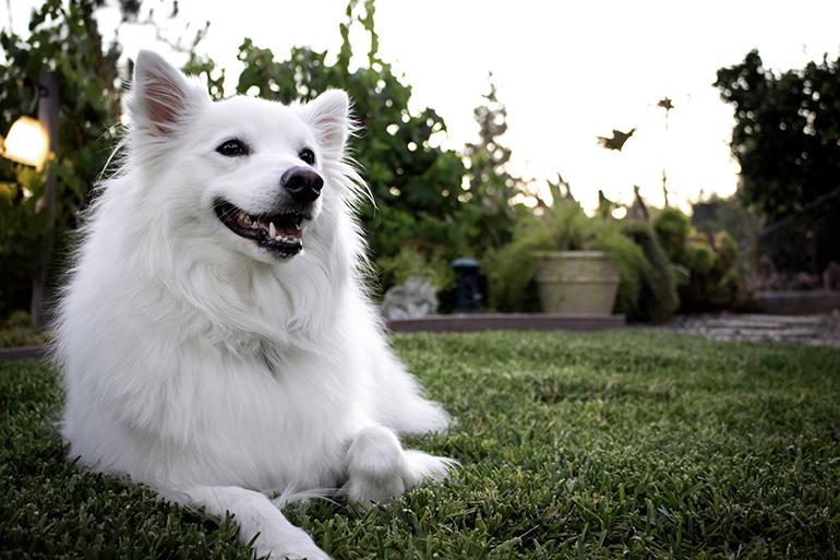 perro-esquimal-americano-tumbado-en-el-jardín