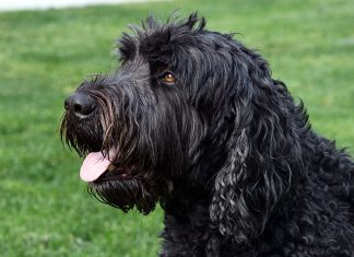 perro-terrier-negro-ruso