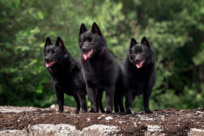 trio-de-Schipperke-en-el-bosque