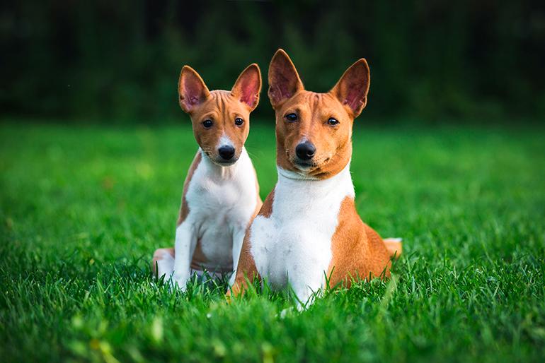 Basenji-con-su-cachorro