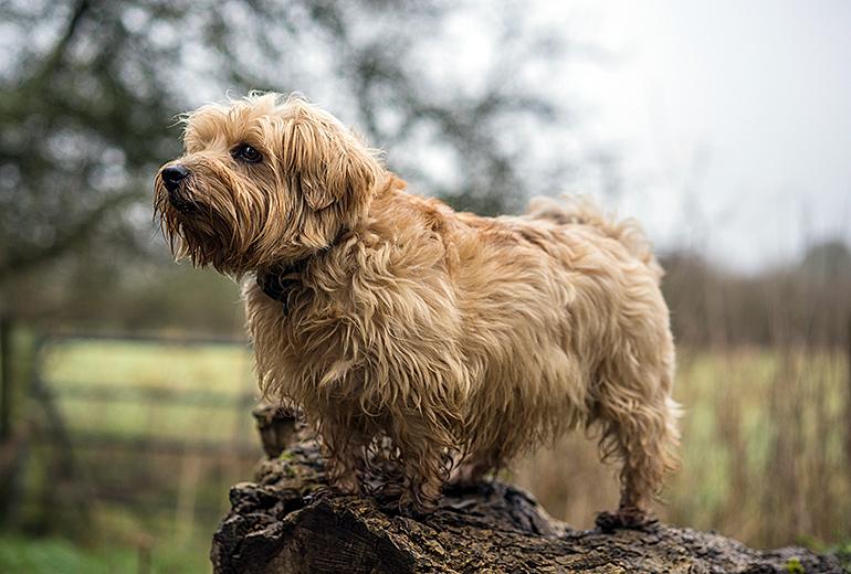 Norfolk-Terrier-sobre-un-tronco