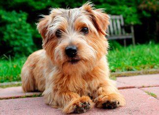Norfolk-Terrier-tumbado-en-el-jardín