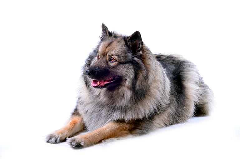 aspecto-físico-de-un-perro-Keeshond