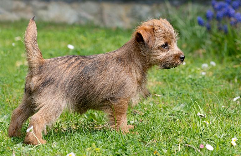 cachorro-de-Norfolk-Terrier