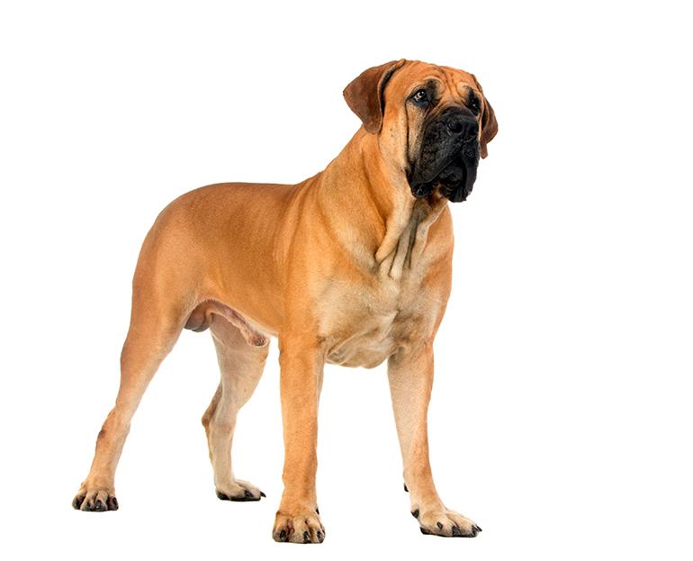 características-de-un-perro-Boerboel