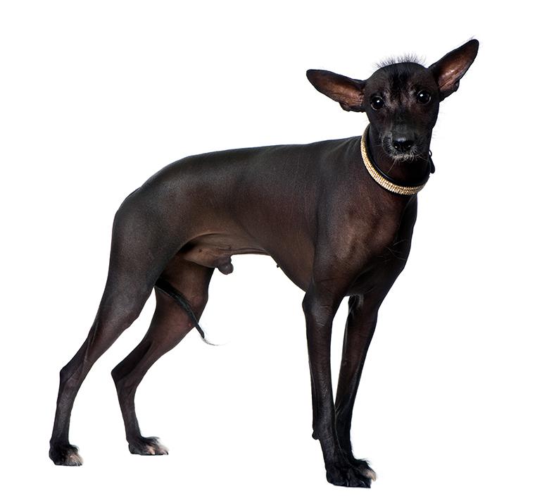 características-de-un-perro-peruano