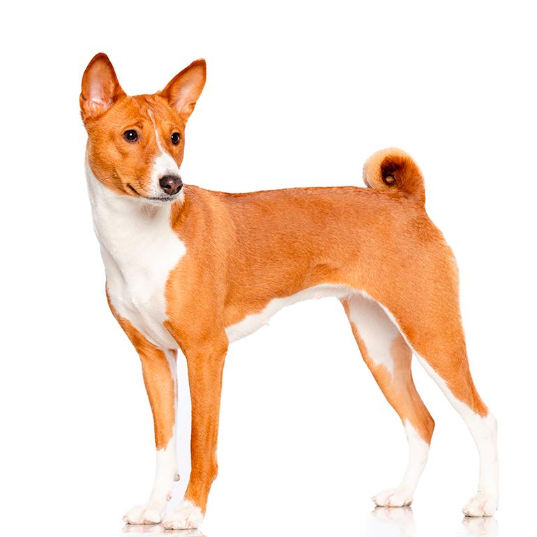 características-del-perro-Basenji
